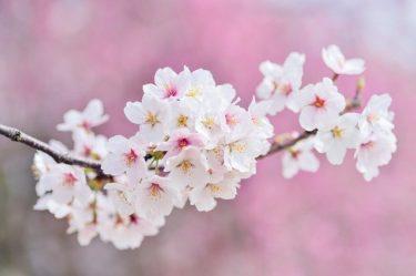 「願はくは 花の下にて 春死なん・・・」